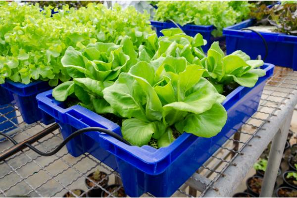 Đá Vermiculite trồng rau thủy canh