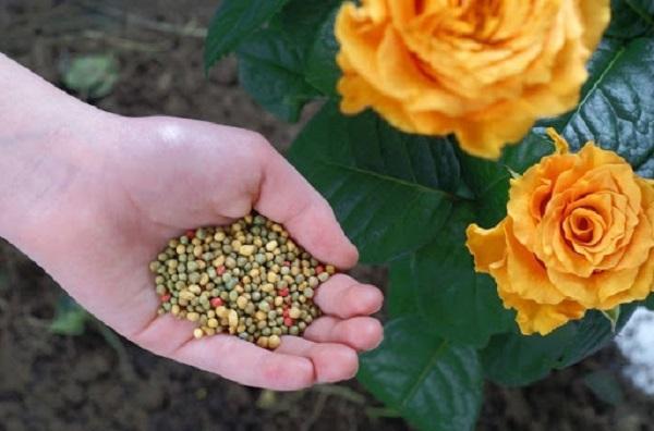 Cách bón phân cho cây hoa hồng
