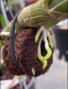 mút ươm kie hoa lan
