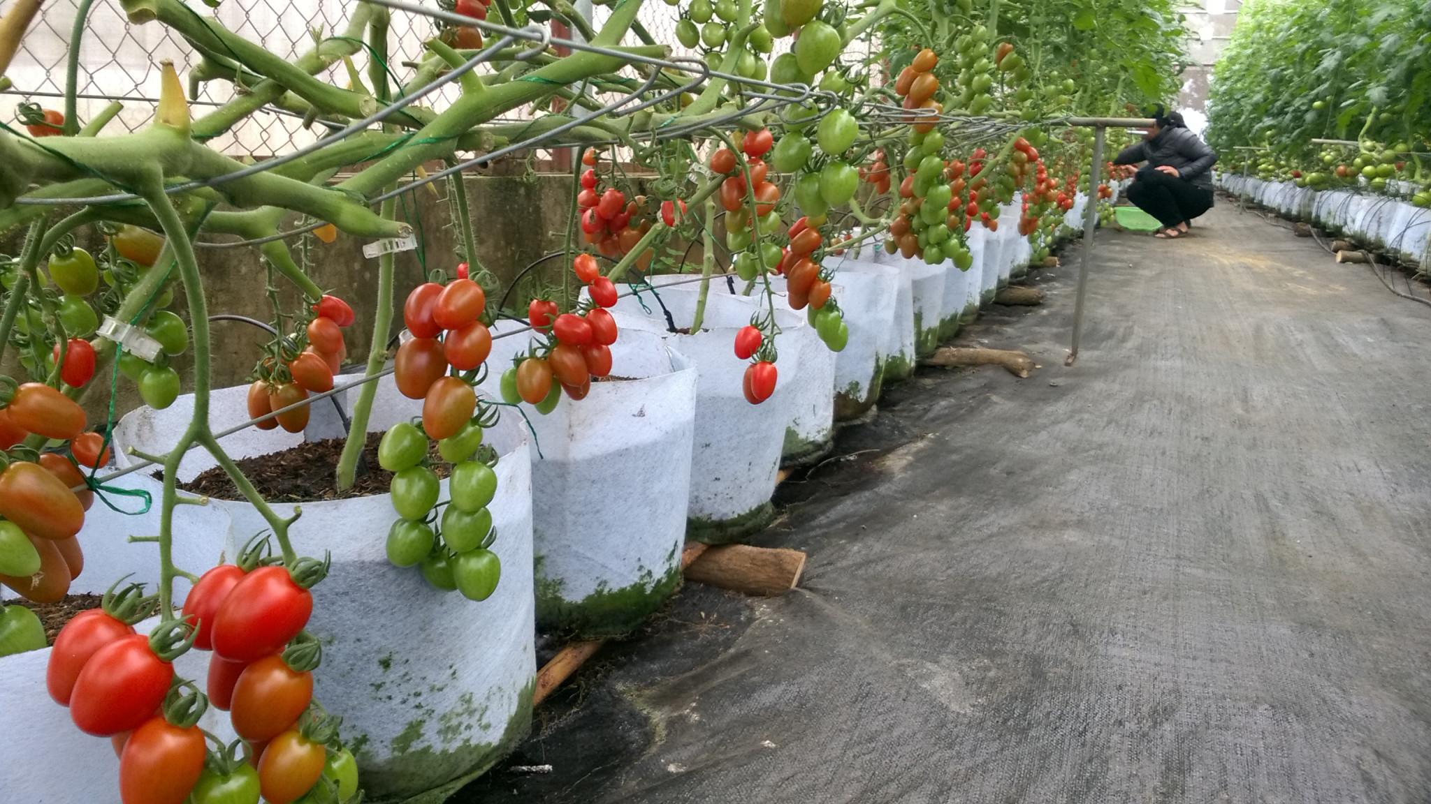 trồng cây cà chua