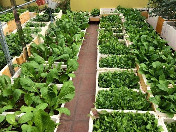 Rau cũng được tận dụng trồng tại các ban công chung cư hay sân thượng